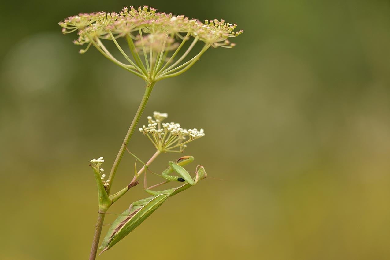 Empuse commune / Conehead mantis